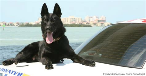 Animal Rescue Tribute by A Touching Tribute To K 9 Officer Major From Clearwater
