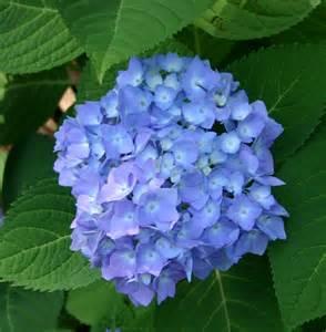hydrangeas flowers hydrangeas