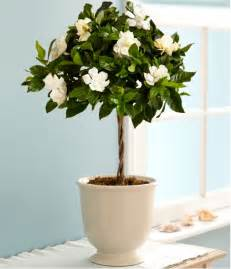 Gardenia Indoor Care Growing Gardenias In Pots Gardenia Tree Care And How To