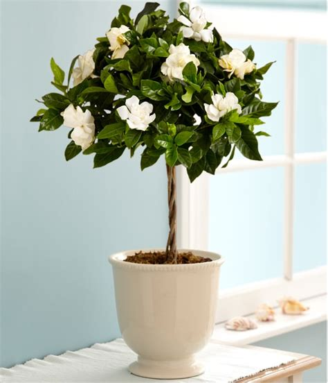 best indoor flowering plants growing gardenias in pots gardenia tree care and how to