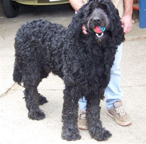 newfoundland mix puppies newfypoo newfoundland poodle mix info puppies and pictures