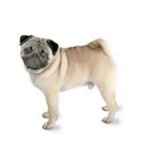 pug coat pug fleece coat