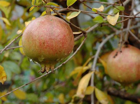 melograno pianta da giardino melograno da frutto punica granatum giardinaggio mobi