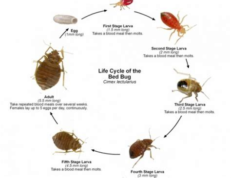 get rid of bed bugs how to get rid of bed bugs permanently auto design tech