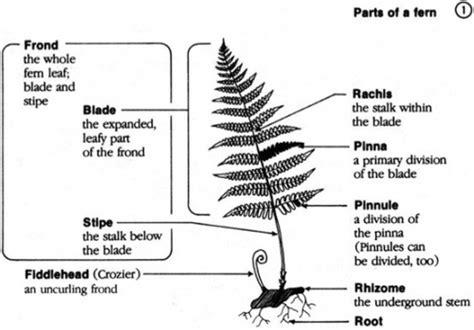 diagram of a fern fern leaf diagram wiring diagram schemes