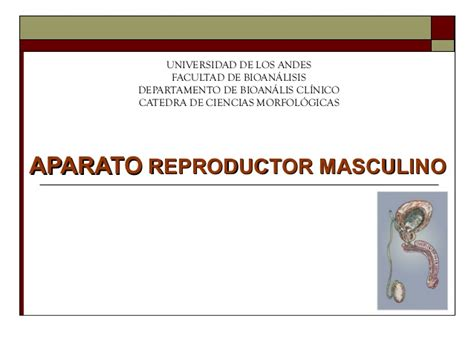 aparato reproductor masculino aparato reproductor masculino