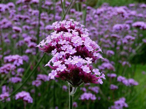 verbena purpletop vervain verbena bonariensis zoom s edible plants