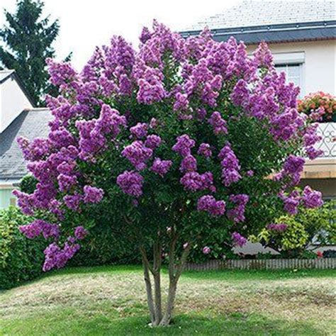 fast growing flowering shrubs de 25 bedste id 233 er inden for small ornamental trees p 229