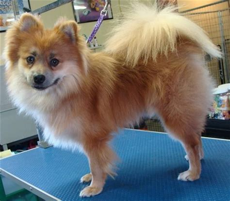 pomeranian grooming tips 17 best images about pom chi dogs on chihuahuas puppys and skin treatments