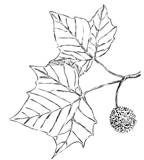 Sycamore Leaf Outline by Sycamore Leaves Illustration Free Stock Photo Domain Pictures