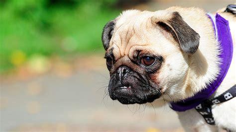 pug charity pug tastic dozens of pugs take part in charity walk granada itv news