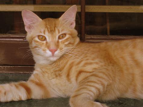 Inidia Cat 25 orange domestic shorthair cats gallery