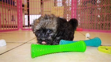 havanese puppies ga adorable havanese puppies for sale in at puppies for sale local breeders