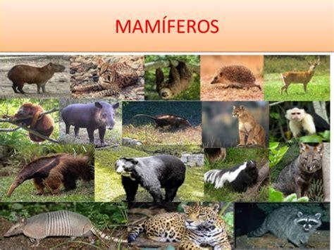 imagenes de animales vertebrados mamiferos cuadros sin 243 pticos sobre mam 237 feros caracter 237 sticas y