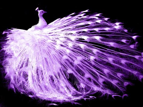 Peacock Wallpapers purple peacock by anachlirium on deviantart