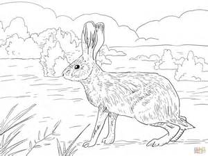 California Jack Rabbit Coloring Page  Free Printable Pages sketch template