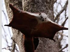Chinese flying squirrel | flying mammals | Pinterest Japanese Giant Flying Squirrel