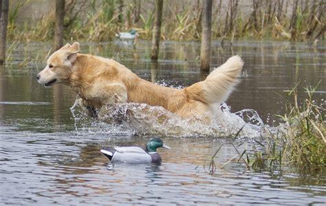 when do golden retrievers go in heat bird breeds florida sportsman