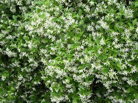 gelsomino terrazzo gelsomino ricante piante da giardino le