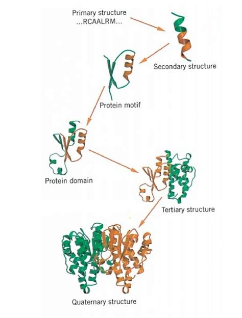 protein molecule diagram protein molecule structure diagram pictures to pin on