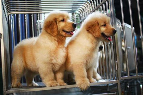 golden retriever puppies for sale singapore golden retriever puppies for sale for sale adoption in