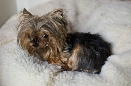 common yorkie problems miniature terriers health teacup terrier puppies