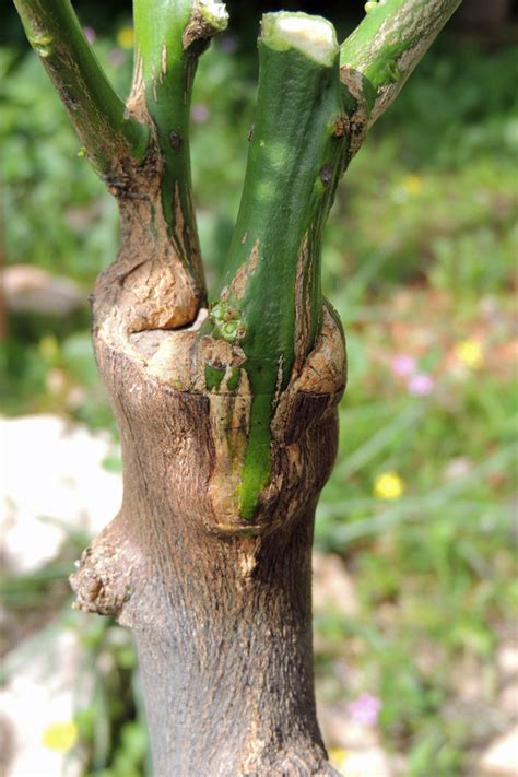 grafting fruit tree grafting fruit trees a step by step picture tutorial