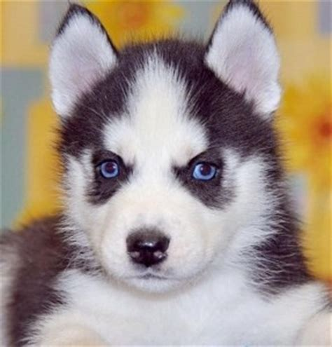 karelian puppies for sale dogs missouri free classified ads