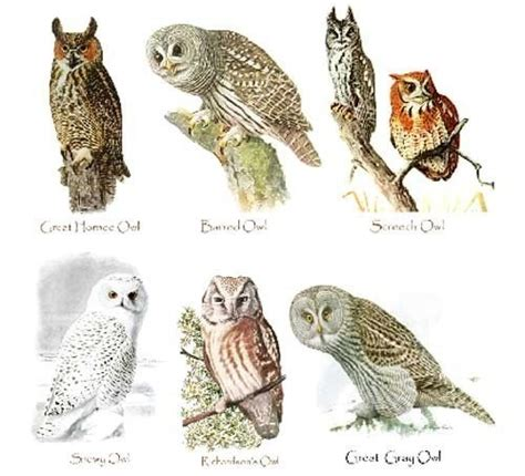 Essay On Different Types Of Birds In by Top 28 Types Of Owls Owls Of America Birds Of Prey Field Guide By Owls Of Alberta A