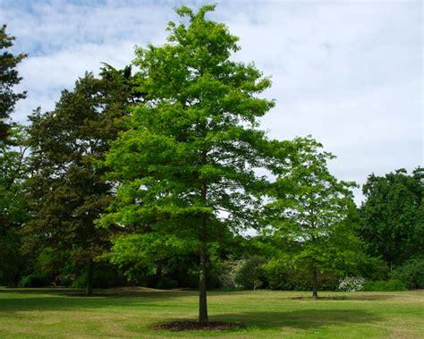What Colour Is Orange by Gardensonline Quercus Palustris