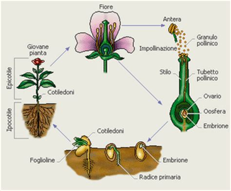 il fiore e la riproduzione u d la riproduzione delle piante dal seme alla pianta