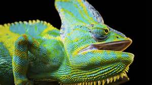 how do chameleons change color chameleon colors images
