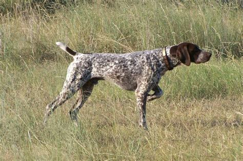 gsp puppy german shorthaired pointer dogs breeds pets