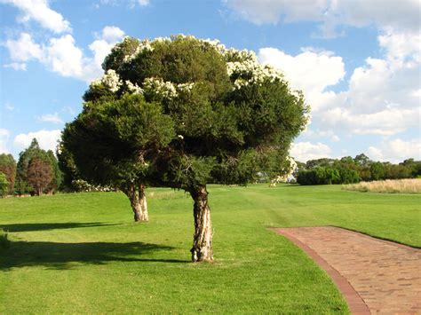 golf tree johannesburg woodmead golf course summer tree jpg
