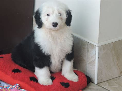 puppies classifieds kc sheepdog puppies the best whitland carmarthenshire pets4homes