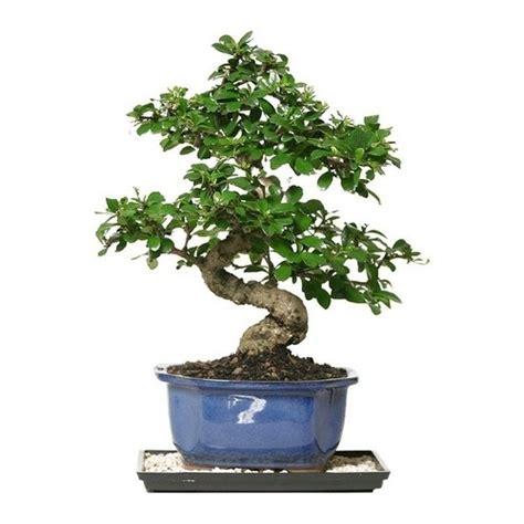 bonsai duenyasi ficus bonsai profesyonel yetistirme seti