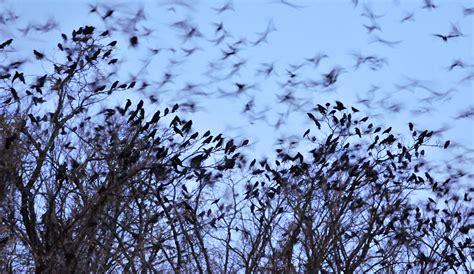 A Murder Of Crows how to stop a murder of crows hint throw them a