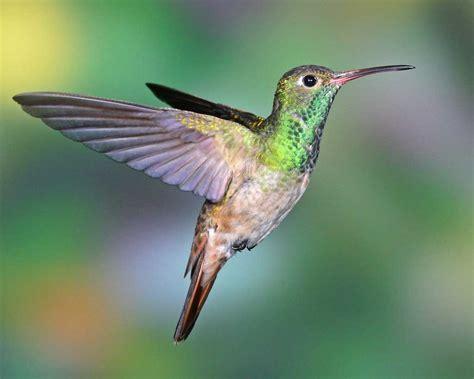 Hummingbird L by Buff Bellied Hummingbird Audubon Field Guide
