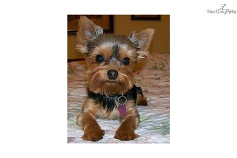 lil yorkies for sale puppies for sale from lil bits yorkies nextdaypets