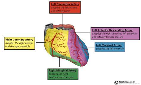 Coronary Artery Distribution Anatomy