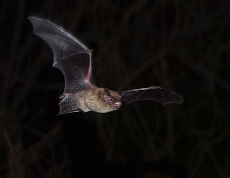 evening bat austin bat refuge