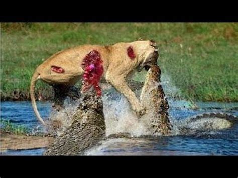 lion  bull elephant crocodile  elephant lion  hyena male lion attack animal victims fight