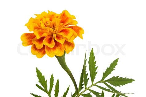 marigold paint flower marigold isolated on white stock photo colourbox