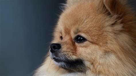 define pomeranian hd pomeranian wallpapers wallpapersafari