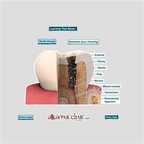 Medium Tooth Replika Cc tooth decay labeled bodypartchart official site