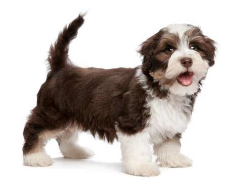 traits of havanese dogs havanese breed information facts pictures temperament and characteristics