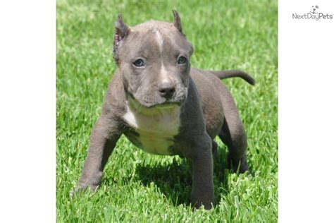 pocket pit puppies american pit bull terrier puppy for sale near los angeles