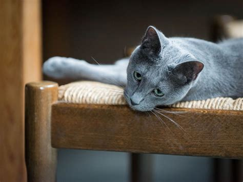 4 cat breeds that may be hypoallergenic