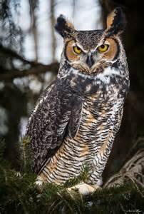 Backyard Bird Centre Great Horned Owl
