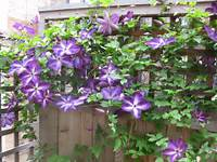 Clematis 3648x2736px 1624 36 Kb 800x600px 195 03